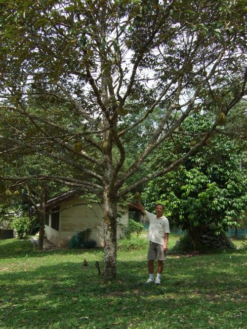 durian_tree_in_malaysia